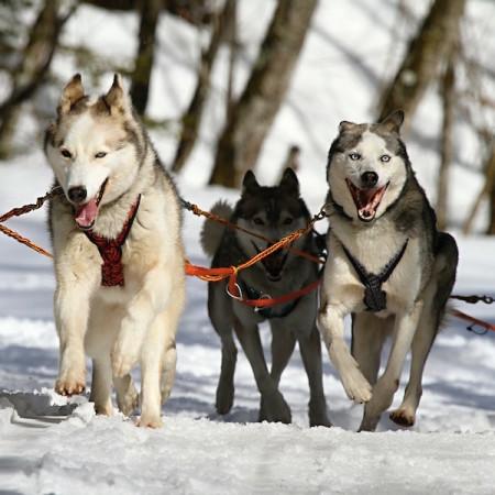 huskies-273409_1280